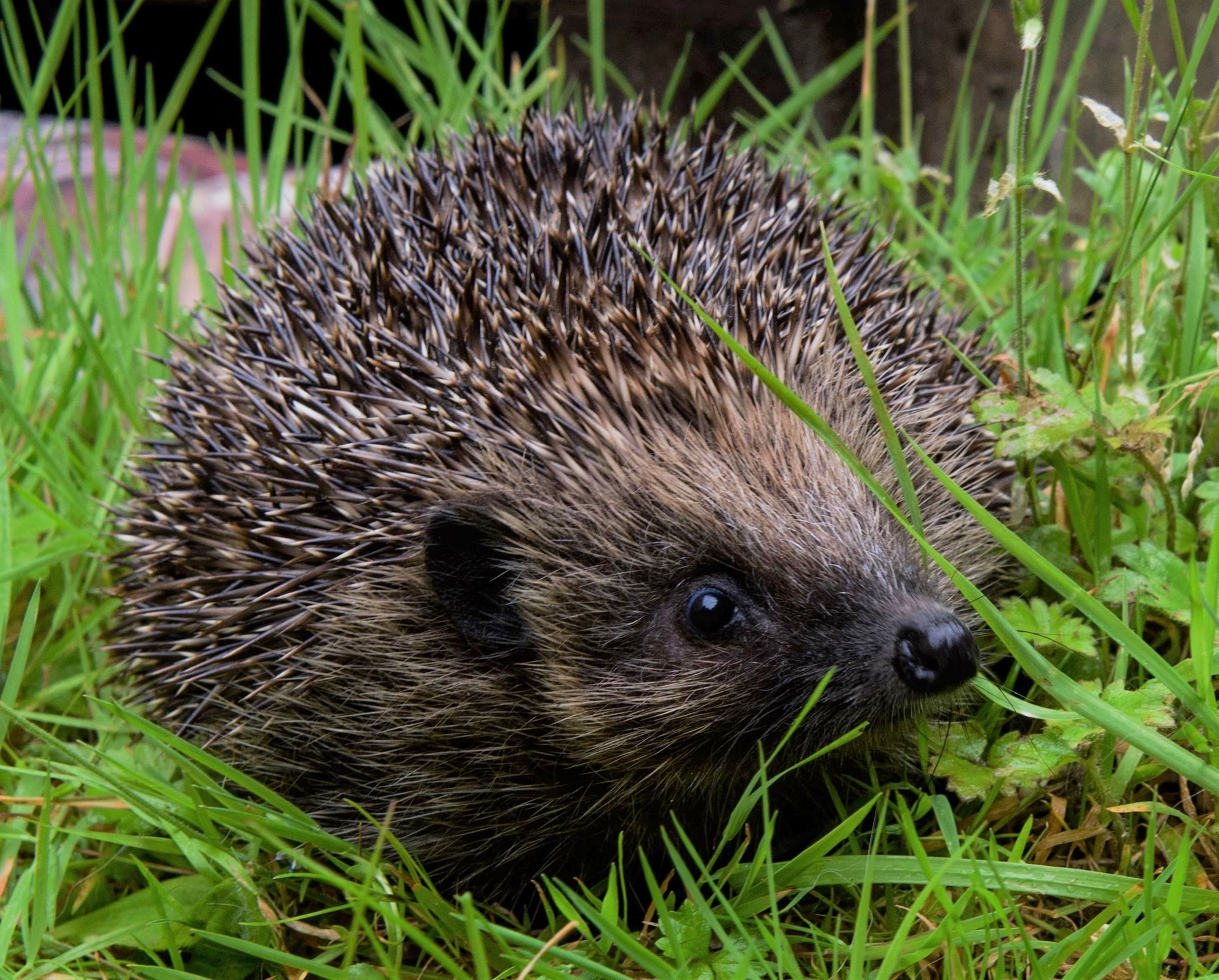 Woodlands – What's the best way to help a hog in need?
