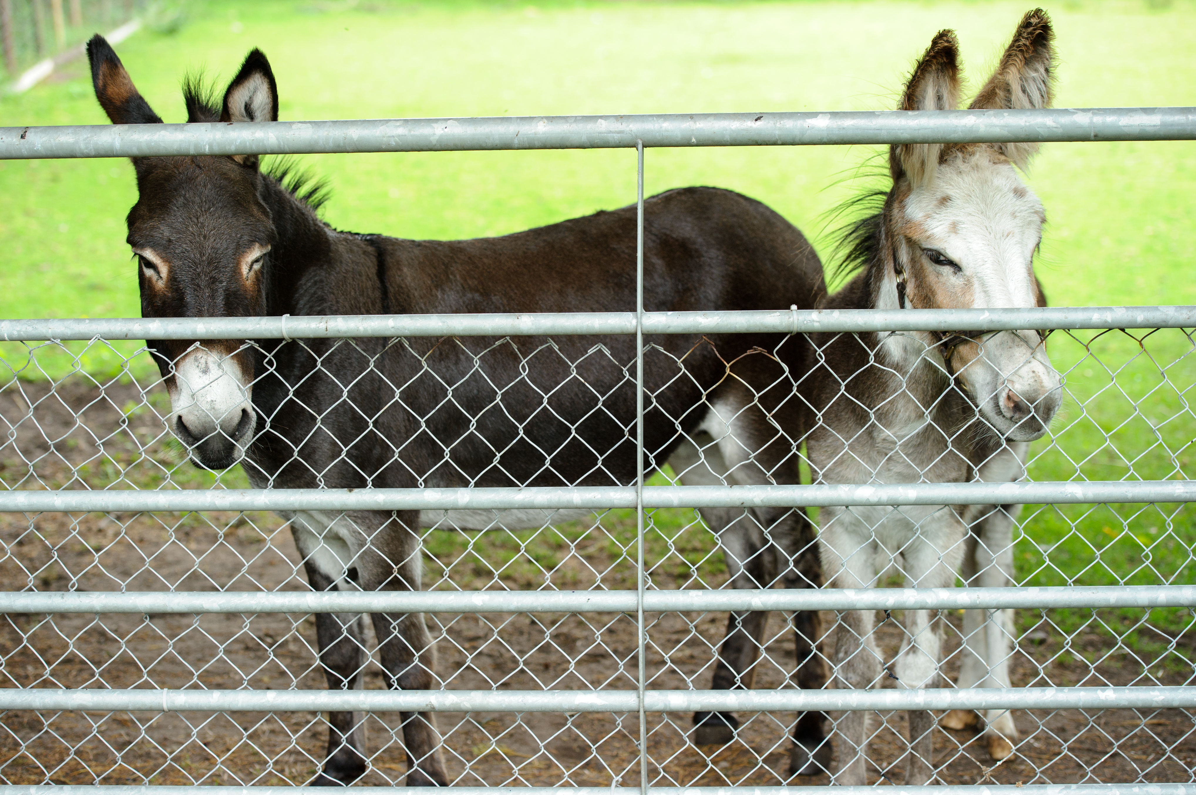 Dolly and Beanie, our Donkeys
